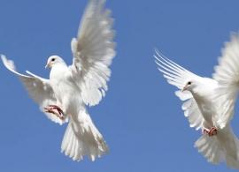 Weisse Tauben